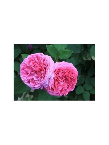 Eau florale bio de rose de Damas